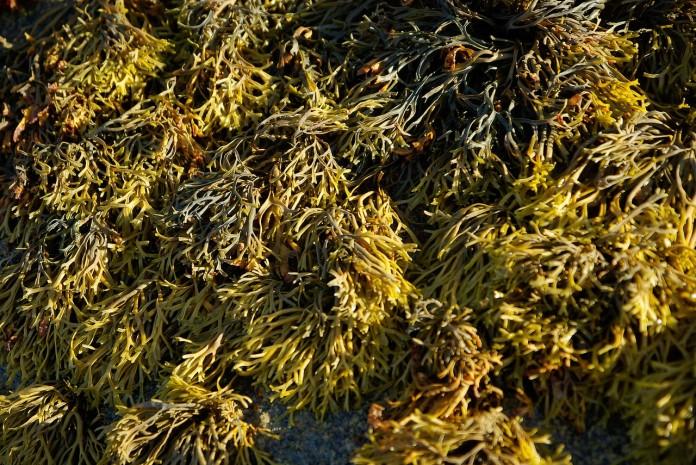 algues brunes ou pétrole