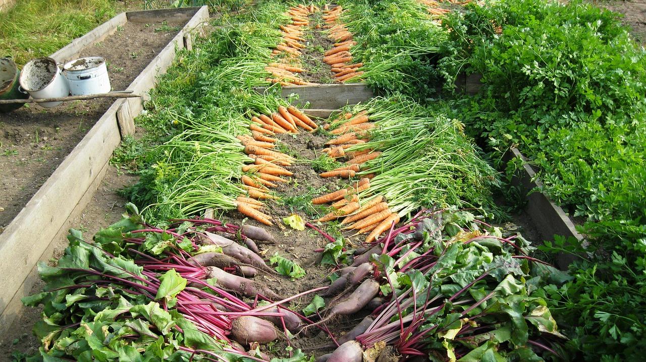 jardin potager legumes