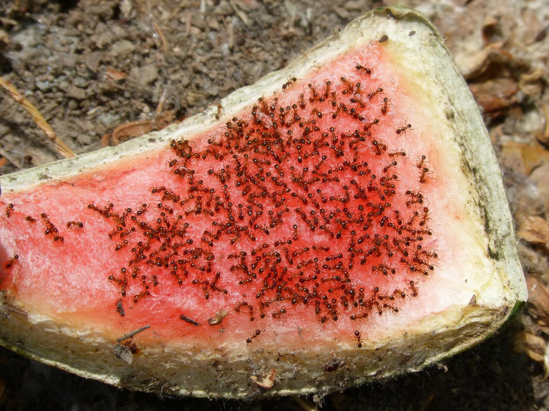 5 astuces pour loigner les fourmis naturellement consofutur for Astuces contre les fourmis dans la maison