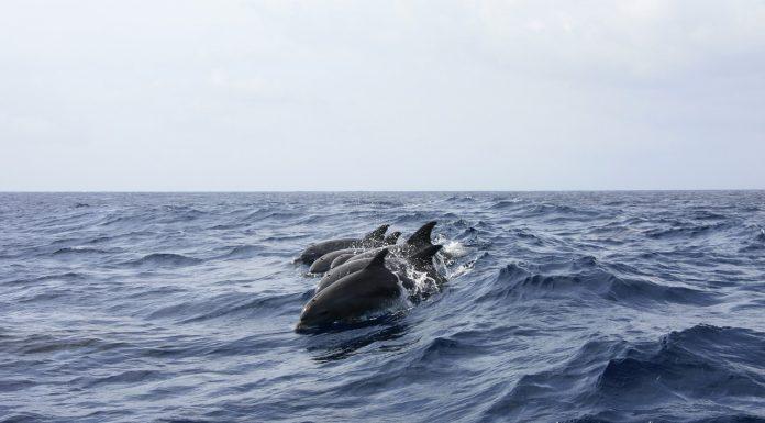 dauphins de la Manche contaminés