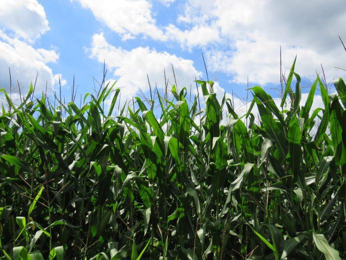 champ de maïs garanti sans OGM