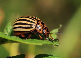insectes nuisibles et agents pathogènes