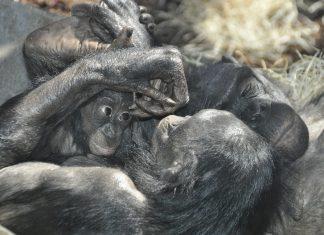 les singes en voie de disparition