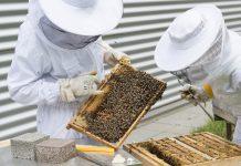 ruches sur les toits de Paris