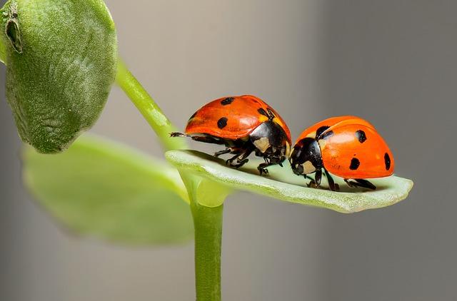 insectes auxiliaires de l'agriculture coccinelle prédateur pucerons