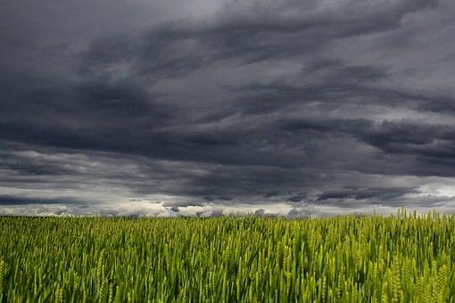 champs de blés menacés par les espèces nuisibles
