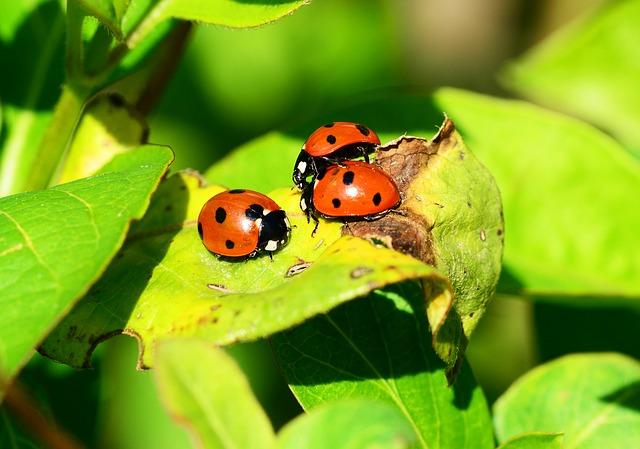 coccinelle insecte auxiliaire