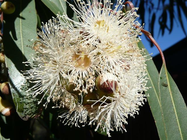 remèdes naturels anti-moustiques : huile essentielle Eucalyptus citriodora