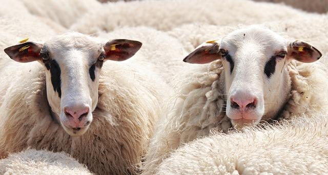 mouton laine pour nouvelle slow fashion