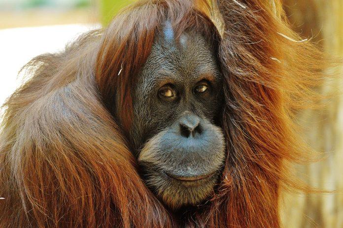 le biodiésel détruit l'habitat de l'orang-outan