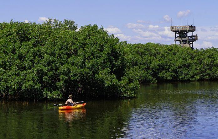 mangrove amazonienne