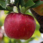 manger la peau des pommes ou pas