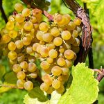 raisins et pesticides