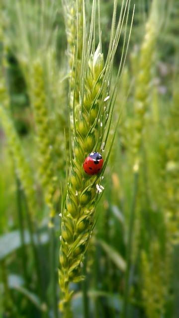Coccinelle biodiversité insecticide naturel