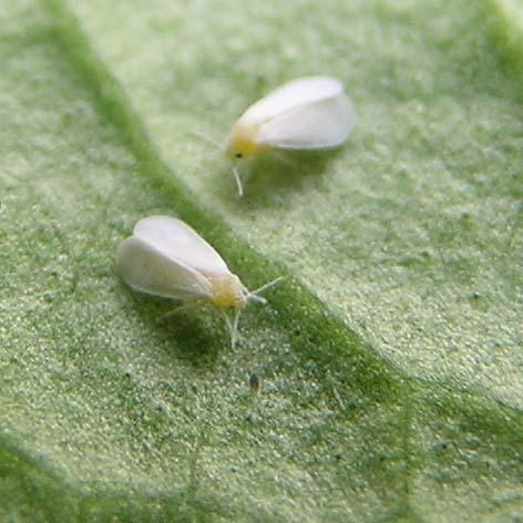 mouche blanche insecte auxiliaire contre l'aleuropode