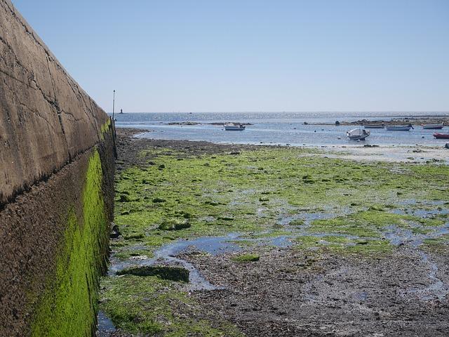 algues vertes le retour