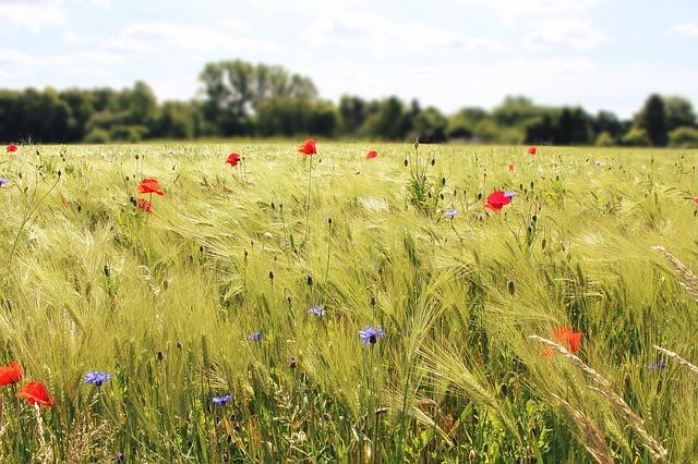 biodiversité nous voulons des coquelicots pour lutter contre l'artificialisation des sols