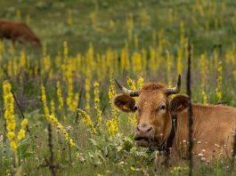 manger végan et les prairies