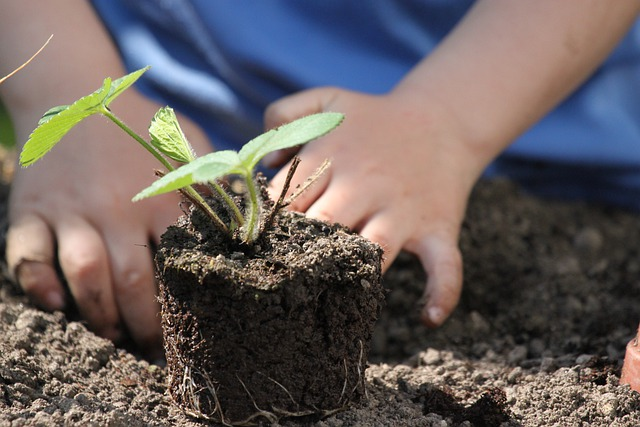 repiquer les plants en août