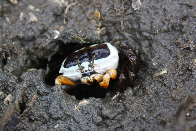 crabe violoniste espèce de la mangrove