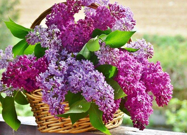 parfumer naturellement sa maison avec un bouquet de lilas