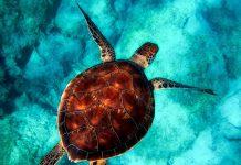 restaurer les océans tortue de mer