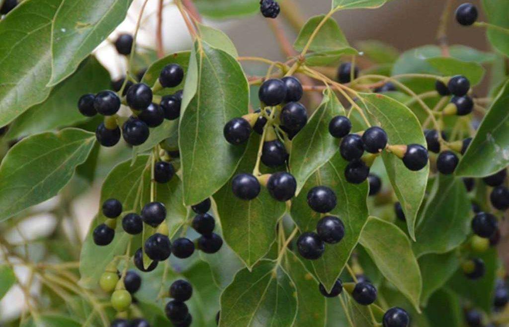 huiles essentielles contre le rhume ravintsara