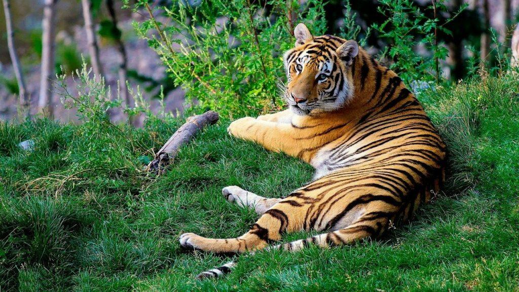 tigre du Bengale en voie de disparition